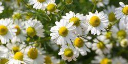 خواص بابونه ، ۸ مورد از خاصیت ها و مضرات دمنوش گل بابونه