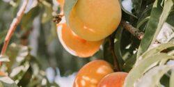 خواص زردآلو ، ۱۱ مورد از خاصیت ها و مضرات مصرف زردآلو