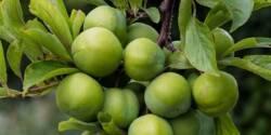 خواص گوجه سبز ، ۱۱ مورد از خاصیت ها و مضرات گوجه سبز