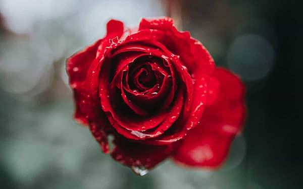 متن فلسفی در مورد گل رز متن در مورد گل رز متن در مورد بوییدن گل رز متن در مورد گل رز زرد متن در مورد گل رز آب متن انگلیسی درباره گل رز متن کوتاه درباره گل زرد خشک شده متن در مورد گل رز سیاه مشکی
